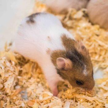 Chuột Hamster Robo 12