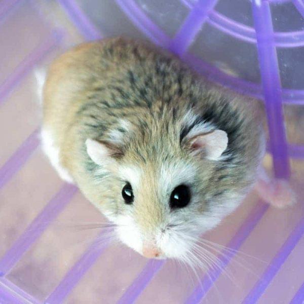 Chuột Hamster Robo 2