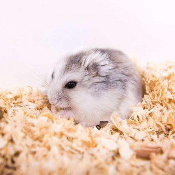 Chuột Hamster Robo 5