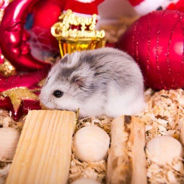 Chuột Hamster Robo 6