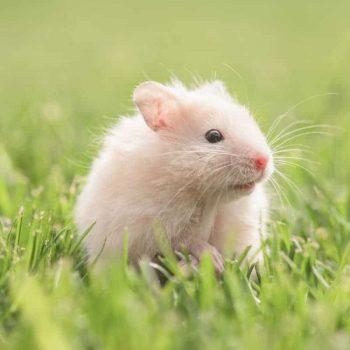 Chuột Hamster Robo 7