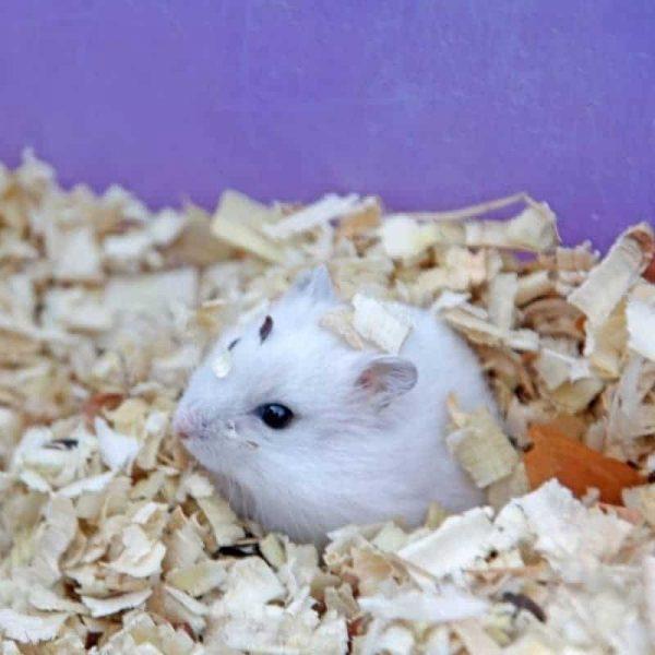 Chuột Hamster Robo 8