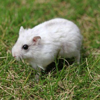 Chuột Hamster Robo 9