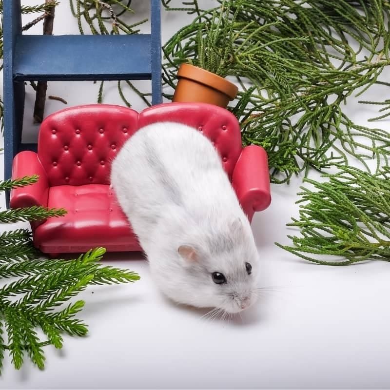 Chuột Hamster Winter White 1