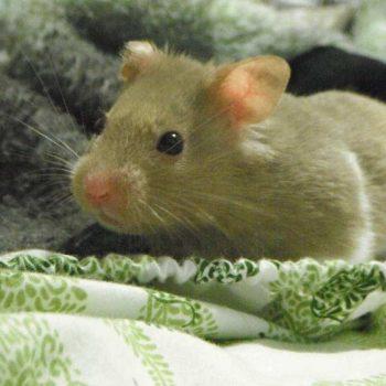 Chuột Hamster Winter White 10