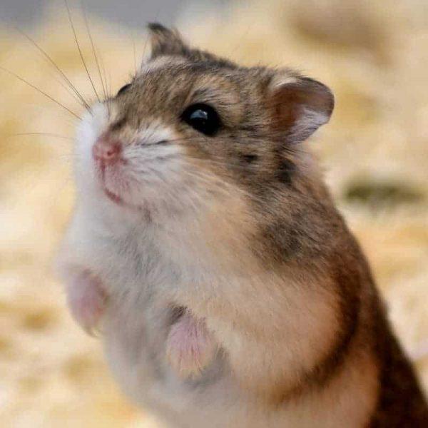 Chuột Hamster Winter White 12