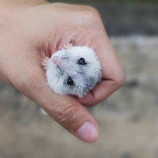 Chuột Hamster Winter White 2