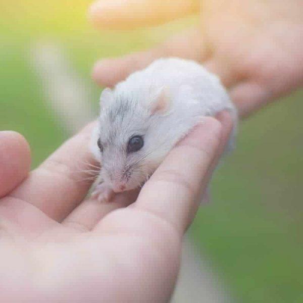 Chuột Hamster Winter White 3