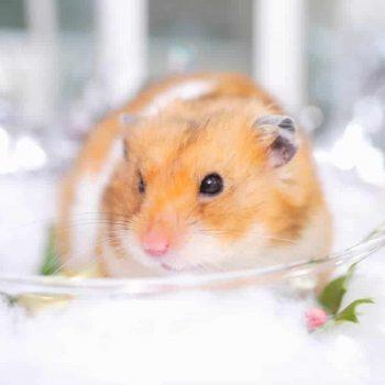 Chuột Hamster Winter White 4