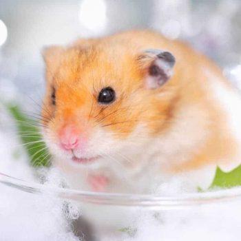 Chuột Hamster Winter White 5