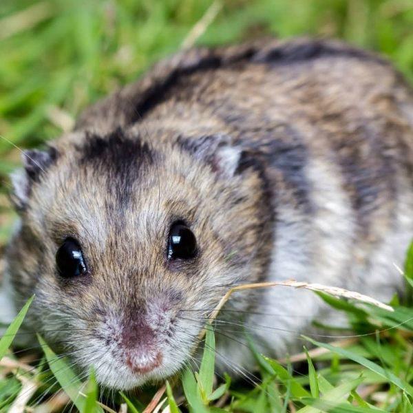 Chuột Hamster Winter White 6
