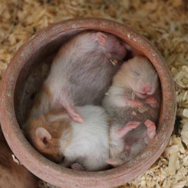 Chuột Hamster Winter White 8