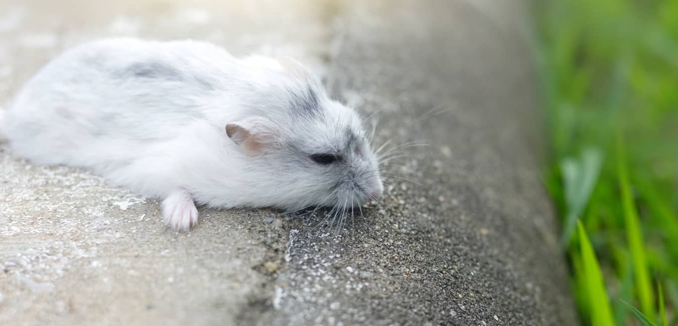 Ngoại hình chuột Hamster Winter White