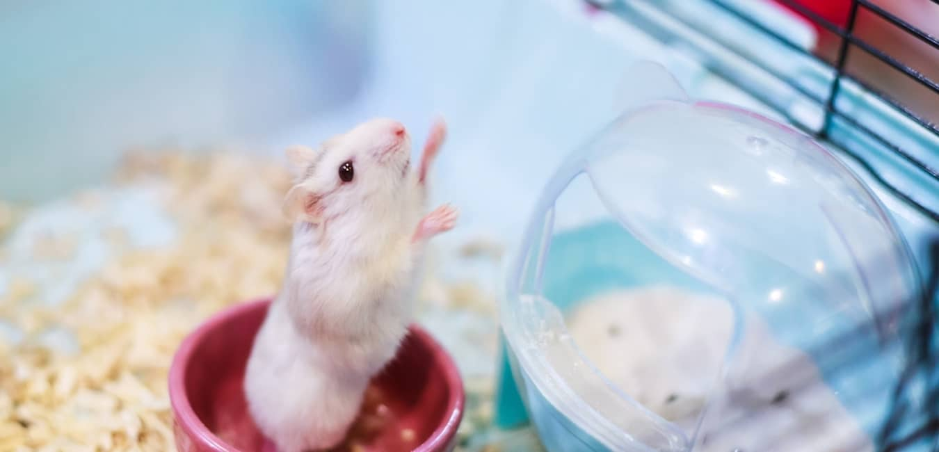 Hamster Winter White khoẻ manh, ít bệnh tật
