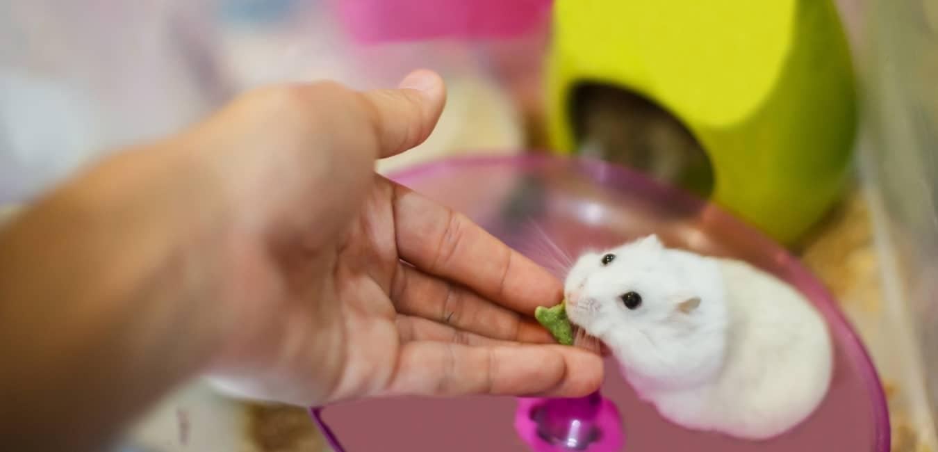 Giá chuột Hamster Winter White khá rẻ