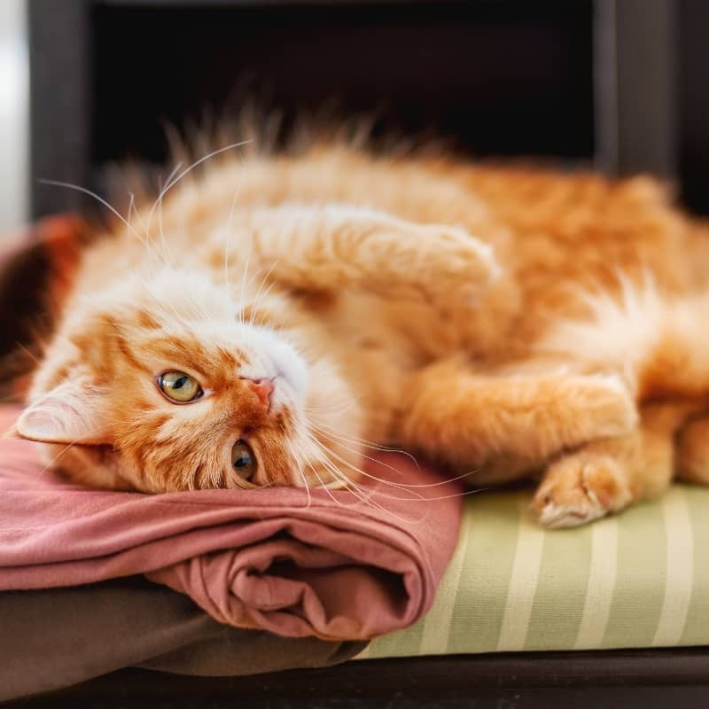 Mèo Cảnh