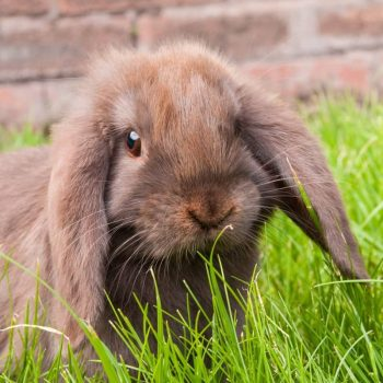 Thỏ Mini Lop