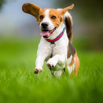 Sản Phẩm Chó Beagle 3