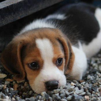 Sản Phẩm Chó Beagle 5