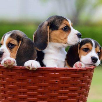 Sản Phẩm Chó Beagle 6