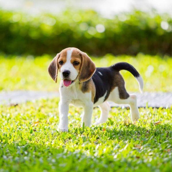 Sản Phẩm Chó Beagle 8