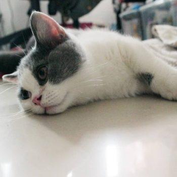 Sản Phẩm Mèo Munchkin Bicolor 1