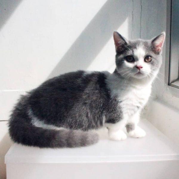 Sản Phẩm Mèo Munchkin Bicolor 2