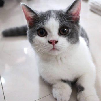 Sản Phẩm Mèo Munchkin Bicolor 4