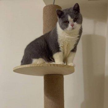 Sản Phẩm Mèo Munchkin Bicolor 6