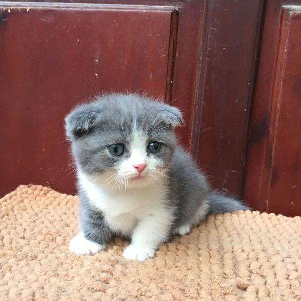 Sản Phẩm Mèo Munchkin Bicolor 8