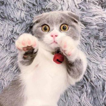 Sản Phẩm Mèo Munchkin Bicolor 9