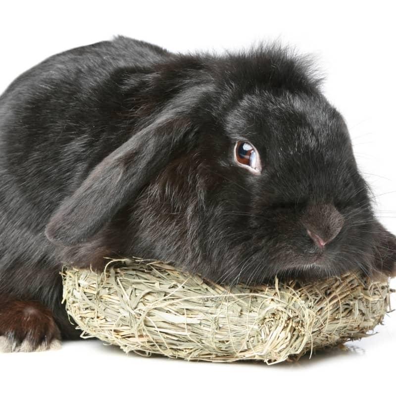 Thỏ Mini Lop Black 1