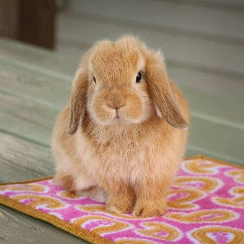 Thỏ Mini Lop Orange 1