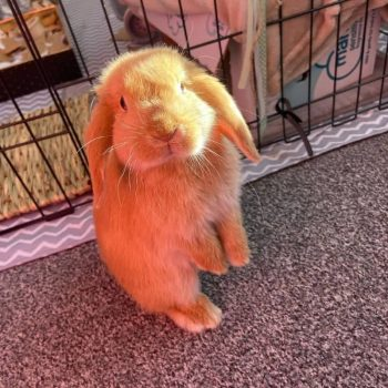 Thỏ Mini Lop Orange 11