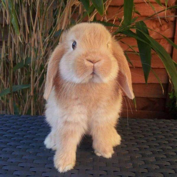Thỏ Mini Lop Orange 12