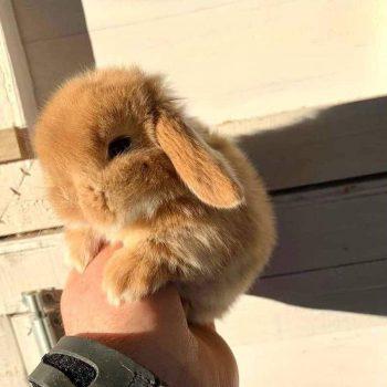 Thỏ Mini Lop Orange 2