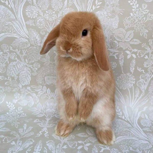 Thỏ Mini Lop Orange 3