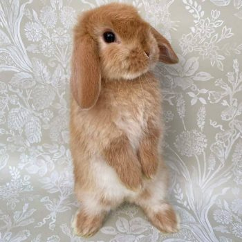 Thỏ Mini Lop Orange 4
