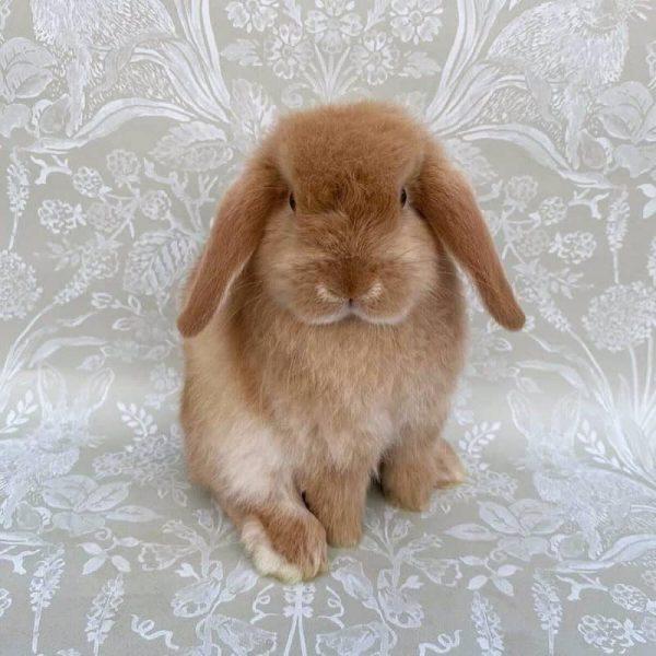 Thỏ Mini Lop Orange 5