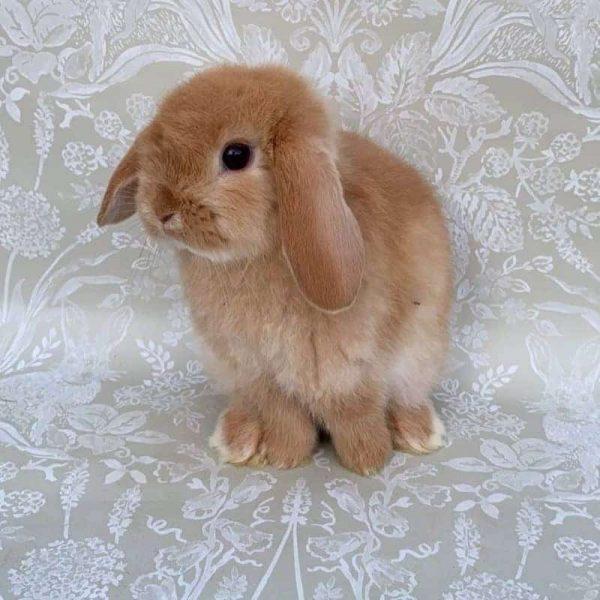 Thỏ Mini Lop Orange 6