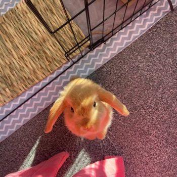Thỏ Mini Lop Orange 7