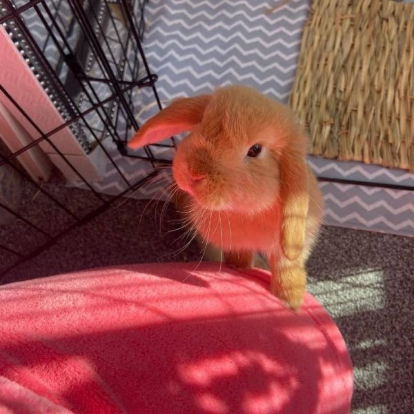 Thỏ Mini Lop Orange 8