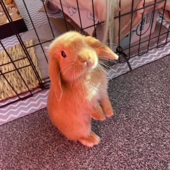 Thỏ Mini Lop Orange 9