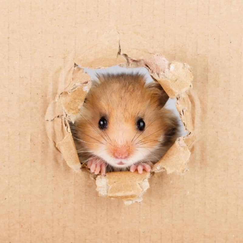 Chuột Hamster đang nhìn