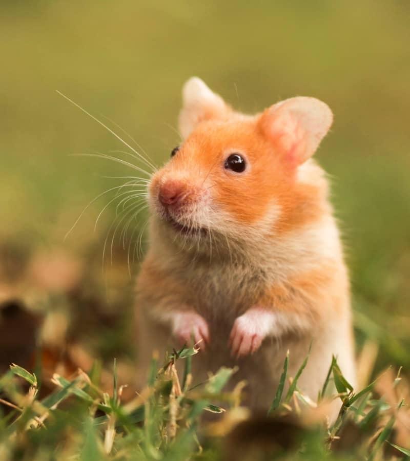Hamster Bear đứng nhìn