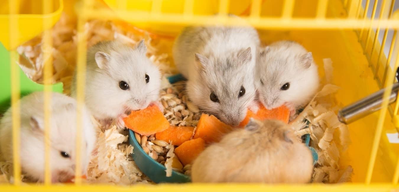Đàn chuột Hamster đang ăn
