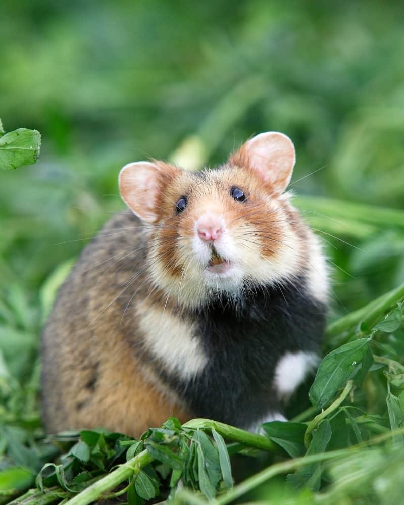 Chuột Hamster sống đơn độc