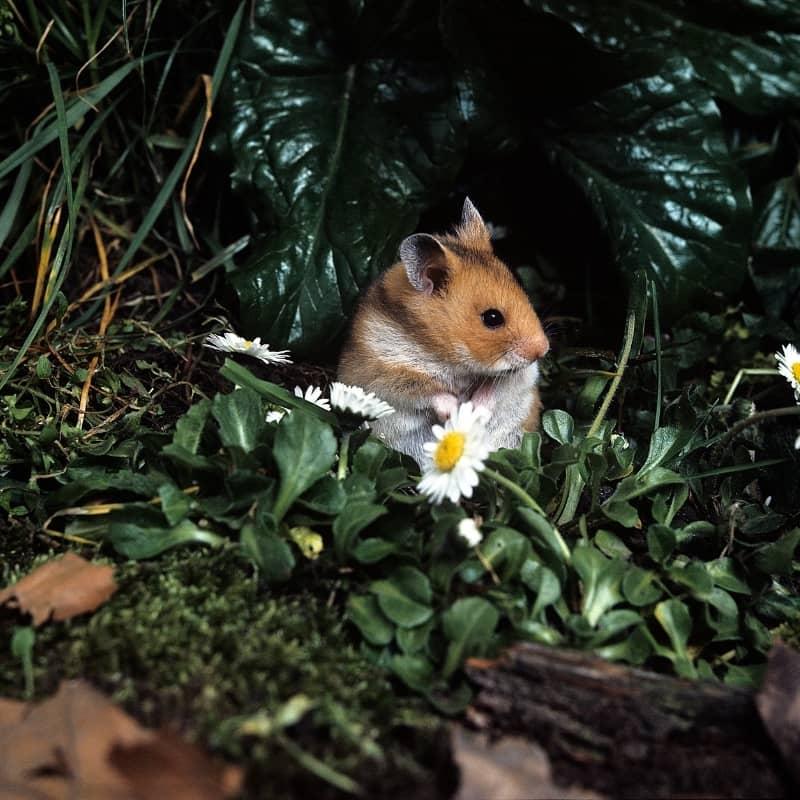 Chuột Hamster hoạt động về đêm