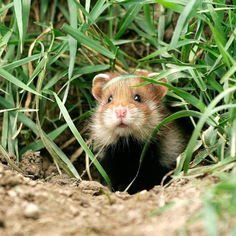 Chuột Hamster rất giỏi đào hang