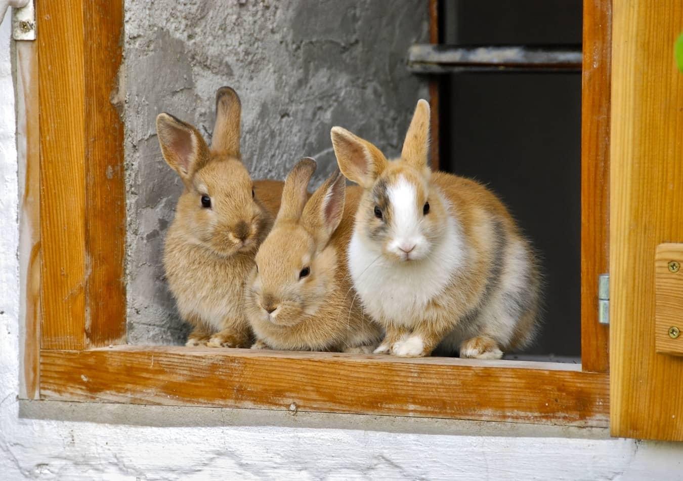 Thỏ cảnh có nhiều ngôn ngữ cơ thể
